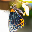 Stock Photo: Male great mormon butterfly