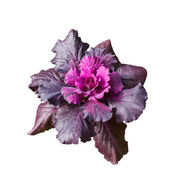 Violet Cabbage (brassica oleracea) — Stock Photo