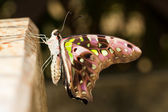 New emerge tailed jay butterfly — Stock Photo