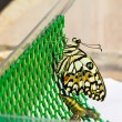 New born of lime butterfly — Stock Photo