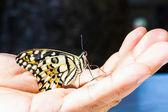 Kelebek yandan kireç — Stok fotoğraf