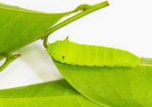 Light green Tailed Jay Caterpillar — Stock Photo
