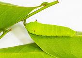 Light green Tailed Jay Caterpillar — Stock Photo