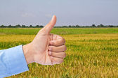 Businessman's hand with thumb up in rice field — Stock Photo
