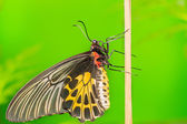 Common Birdwing butterfly — Stock Photo