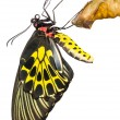 New born Common Birdwing butterfly emerge from cocoon — Stock Photo #37512745