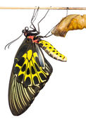 New born Common Birdwing butterfly emerge from cocoon — Stock Photo