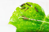 Mature larva before emerge from slough — Stock Photo