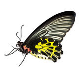 Common birdwing butterfly on white background — 图库照片