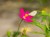 Psyche butterfly feeding on cosmos flower — Stock Photo