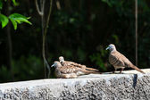 Three zebra doves resting on wall — 图库照片