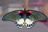 Top view of female Great mormon Butterfly — Stock Photo