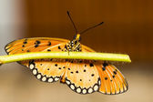 Tawny Coster Butterfly — Foto Stock