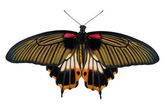 Top view of female yellow body Great mormon Butterfly — Foto Stock