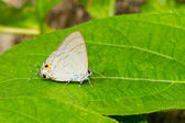 Female of Common Tit butterfly — Zdjęcie stockowe