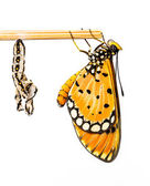 Tawny Coster butterfly and cocoon — Stock Photo