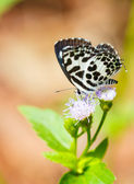 Small black and white Common Pierrot butterfly — Stock Photo