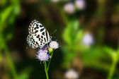 Small black and white butterfly sucking food from flower — Stock Photo