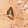 Постер, плакат: Brown and white the commander butterfly