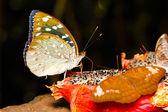 Vrouw van aarchduke vlinder op fruit — Stockfoto