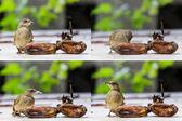 Streak-eared Bubul bird eating ripen banana — Stock Photo