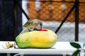 Streak-eared Bubul bird waiting to eat fruit — Stockfoto