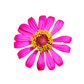 Isolated top view of pink Zinnia flower — Stock Photo