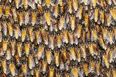 Texture of bee worker — Stock Photo
