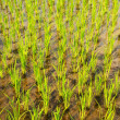 Rice Paddy Growth — Stock Photo