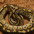 Ball Python Snake — Stock Photo