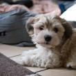 Cute bichon havanese puppy — Stock Photo #20871941