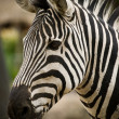 Zebra — Stock Photo #20872001