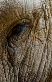 Ageing elephant — Stock Photo