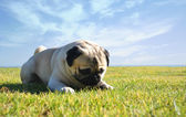 Carlino,pug — Stock Photo
