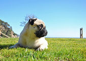 Carlino o pug — Stock fotografie