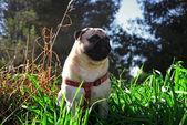 Pug köpek — Stok fotoğraf