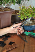 Bonsai with tools  — Stock Photo