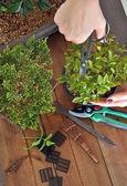 Bonsai with tools  — Stock Photo