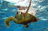 Sea turtle — Stock Photo