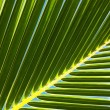 Palm tree leaf N53 - Stock Photo