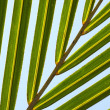 Palm tree leaf N57 - Stock Photo
