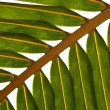 Stock Photo: Palm tree leaf N514