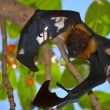 Flying fox — Stock Photo