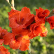 Stock Photo: Red gladiolus