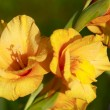 Yellow gladiolus — Stock Photo #21115453