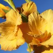 Nice yellow gladiolus — Stock Photo #21115479