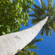 Royalty-Free Stock Photo: Big palmtree