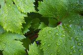 Listoví hroznů — Stock fotografie