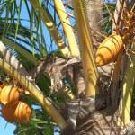 Постер, плакат: Nice coconuts