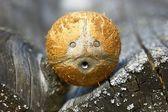 Coconut face — Stock Photo